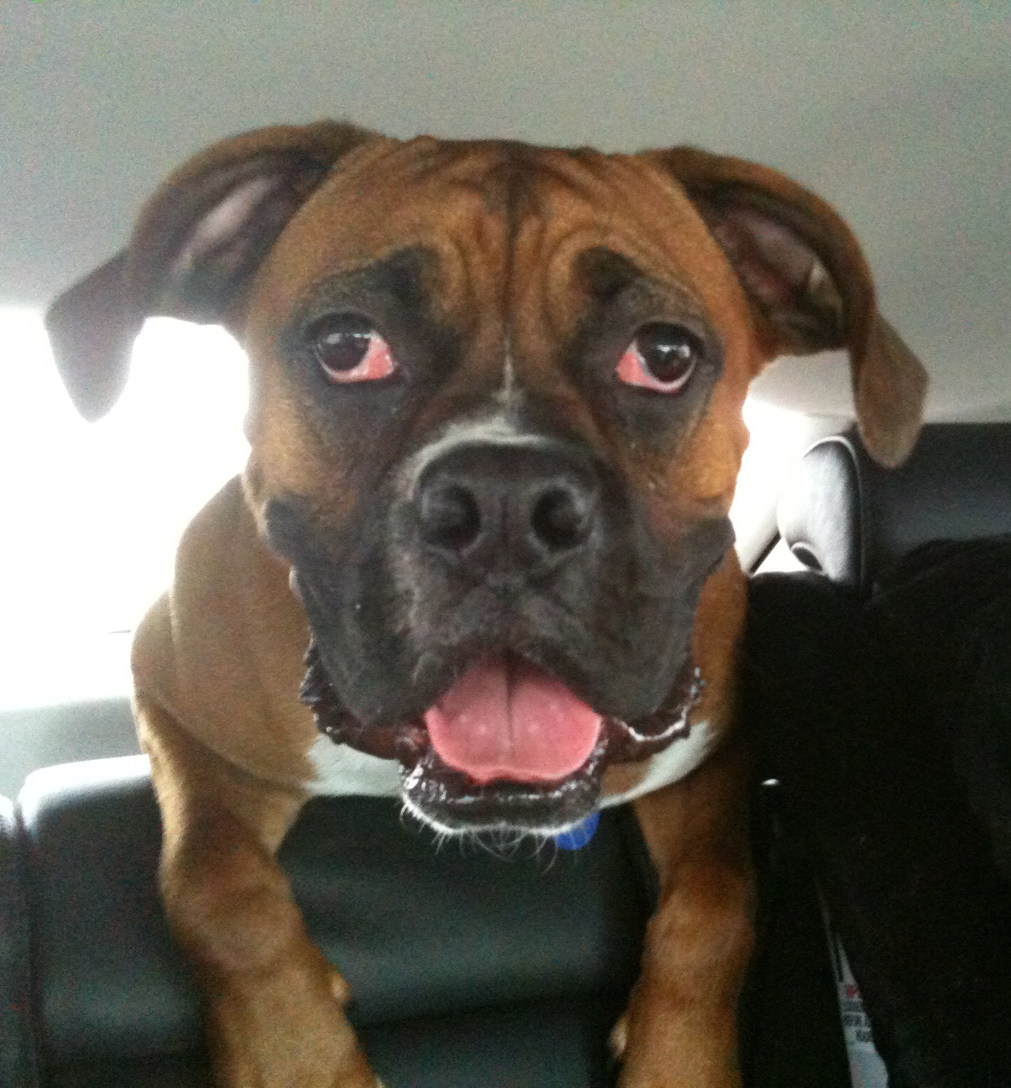 My Dog Has Warts Info On Canine Oral Papilloma Virus Dr Ruth Macpete